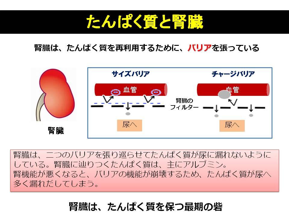 プロテインと腎臓